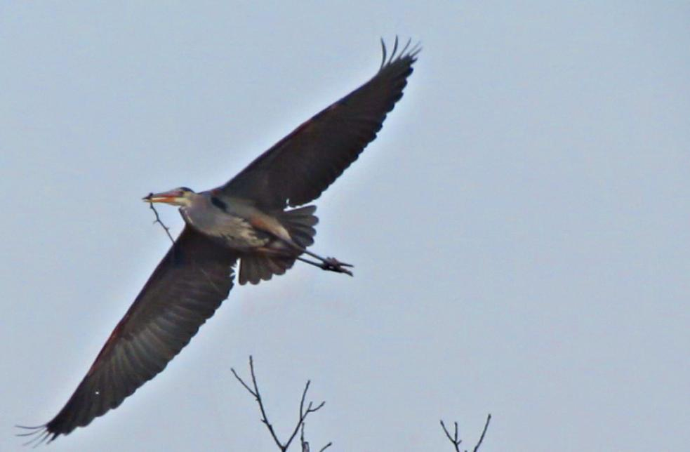 Early spring birding in midwest usa part 2 heron rookery in ohio