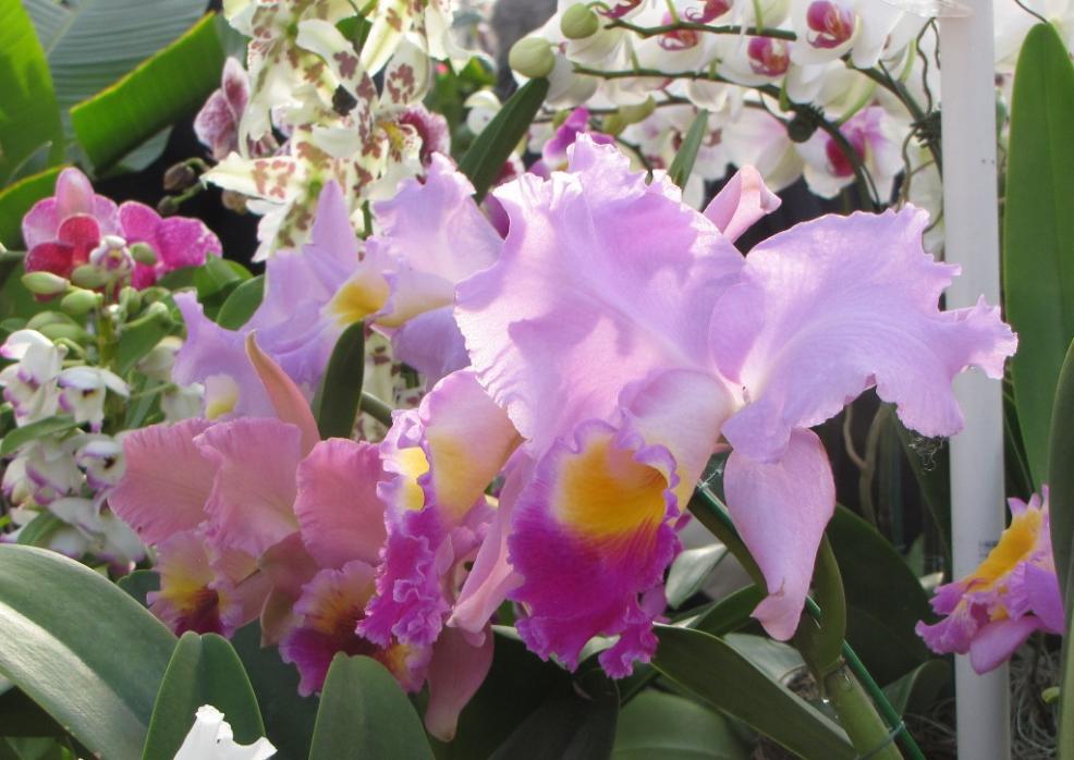 romance  orchid  dearborn farm market  holmdel