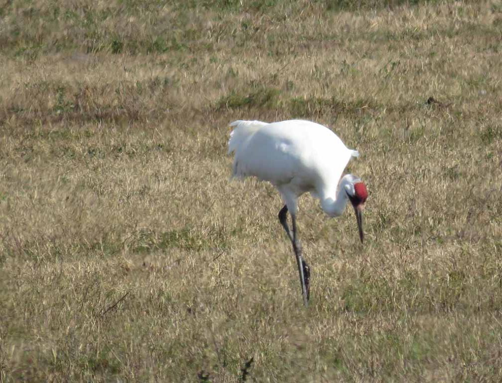 Red Crowned White Crane