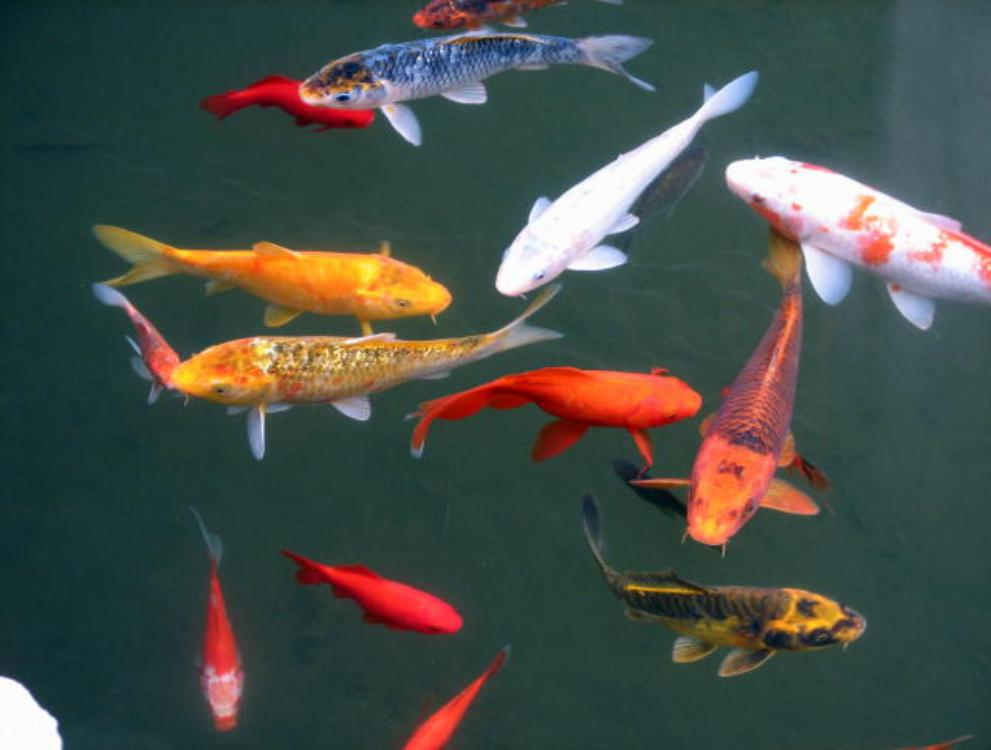 Plunus mume blossom and fish in chinese scholar 39 s garden for Colorful pond fish