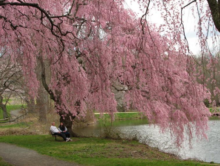 Itt willow trees httpshltripsitebuilderimagesbloomingcherrytreeandtwopeopleonbenchunder img24853 758x572g mightylinksfo
