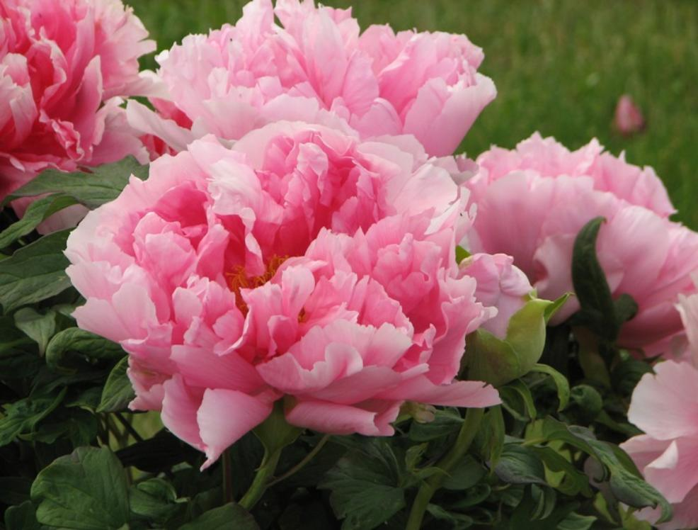 tree peony garden flowers bing images